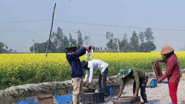 সিরাজগঞ্জে ফুল থেকে মধু সংগ্রহের ধুম